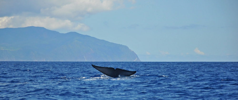 Whale Watching in the Azores (6/6)