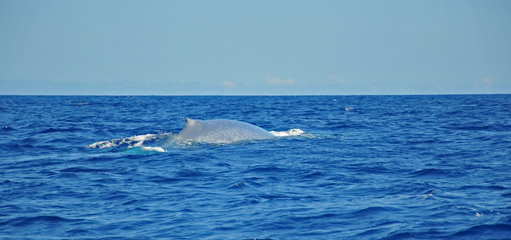 Whale Watching in the Azores (5/6)